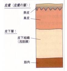 imagememmuscle04